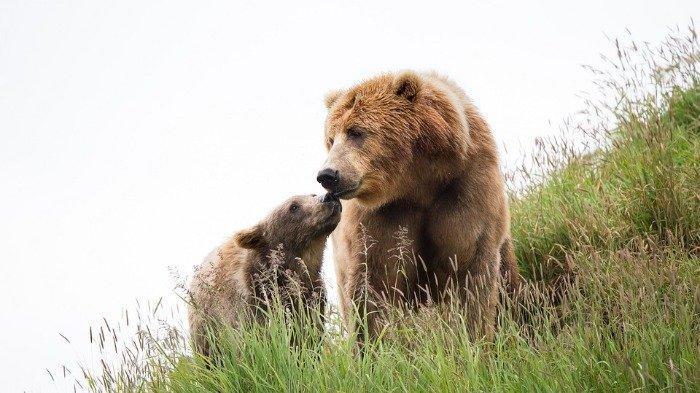 Ilustrasi induk dan anak beruang cokelat