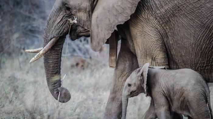 Ilustrasi induk dan anak gajah