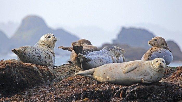 Seorang Wanita Temukan Anjing Laut Berjemur di Belakang Rumahnya, Lokasinya 20 Mil dari Laut