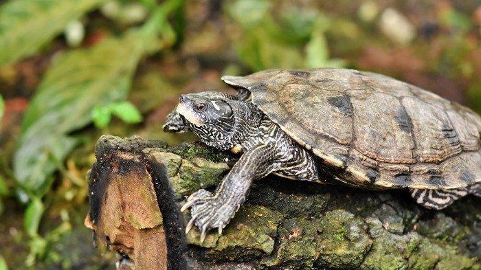 Ilustrasi kura-kura kecil