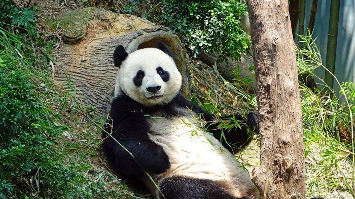 Mengenal Hu Chun dan Cai Tao, Dua Panda Menggemaskan di Taman Safari Bogor