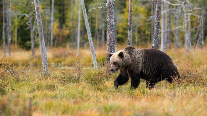 Nenek Berusia 82 Tahun Lawan Beruang yang Masuk ke Pekarangan Rumahnya
