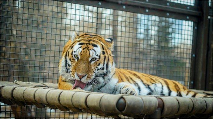 Selfie Sambil Pegang Testikel Harimau, Turis Wanita Dikecam Warganet