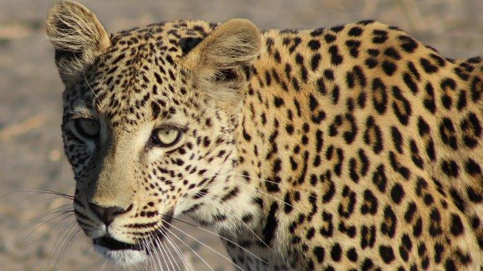 Ilustrasi seekor macan tutul