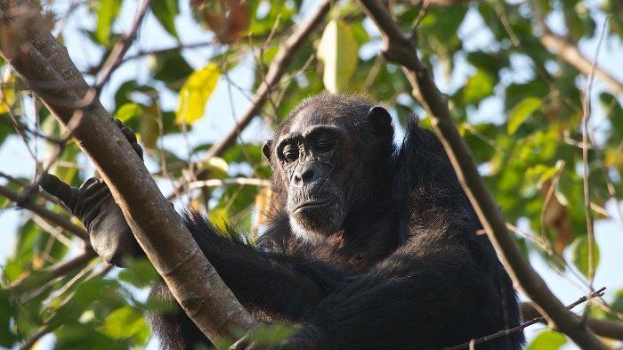 Wisata Safari Ini Tawarkan Pengalaman Berinteraksi dengan Simpanse dan Fasilitas Jet Pribadi