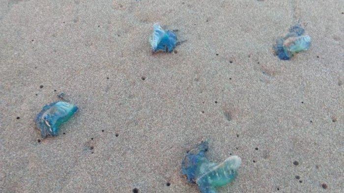 Ratusan Wisatawan Pantai Parangtritis Disengat Ubur-Ubur, Berikut Tips Menghindarinya