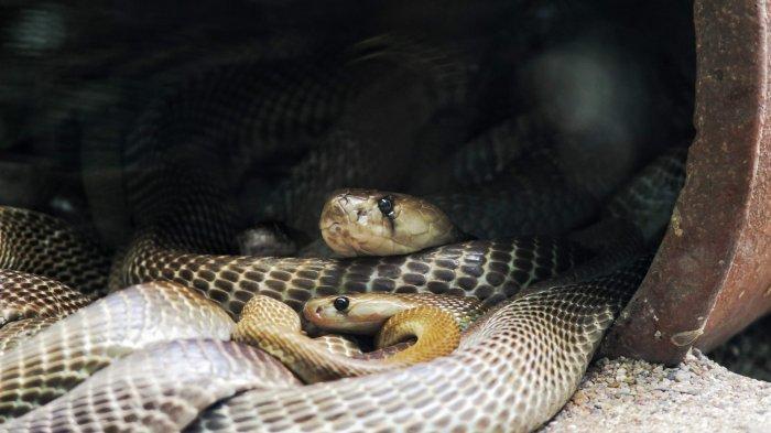 Momen Mengerikan Pasangan yang Temukan Ular Kobra di Toilet Rumah Mereka