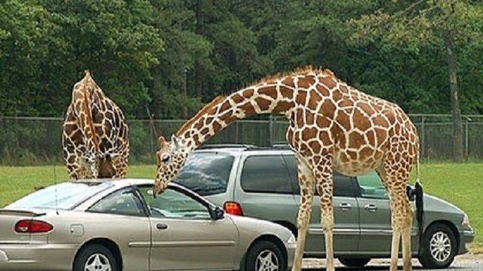 Wisata Safari di New Jersey Ini Akan Beroperasi dengan Konsep Drive-Thru
