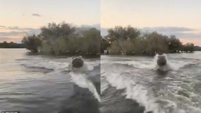 Viral di Medsos, Momen Menegangkan Wisatawan Dikejar Kuda Nil saat Naik Speedboat