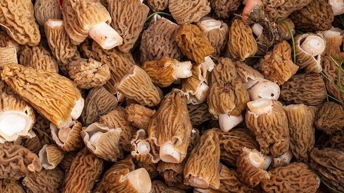Fakta Unik Morel Mushrooms, Jamur Beracun yang Jadi Hidangan Lezat di Finlandia