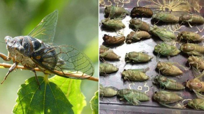 Pemerintah Kota di China Minta Warga Kurangi Populasi Serangga dengan Memakannya
