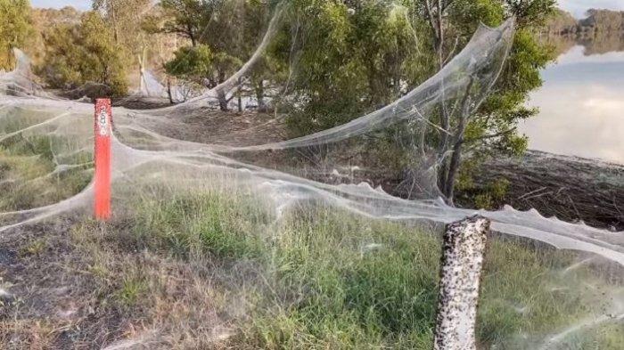 Heboh Penampakan Jaring Jutaan Laba-laba Tutupi Desa Usai Hujan Deras