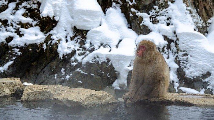 Melihat Taman Kera di Jepang yang Sering Disebut Tempat Pemandian Air Panas Para Monyet