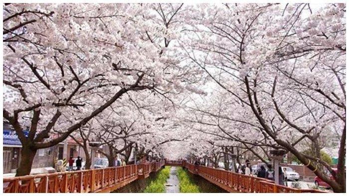 Bila kamu sedang merencanakan perjalanan ke Korea Selatan dan ingin melihat bunga sakura sedang berbunga, perhatikan tanggal-tanggal berikut agar kamu tidak kehilangan momen.