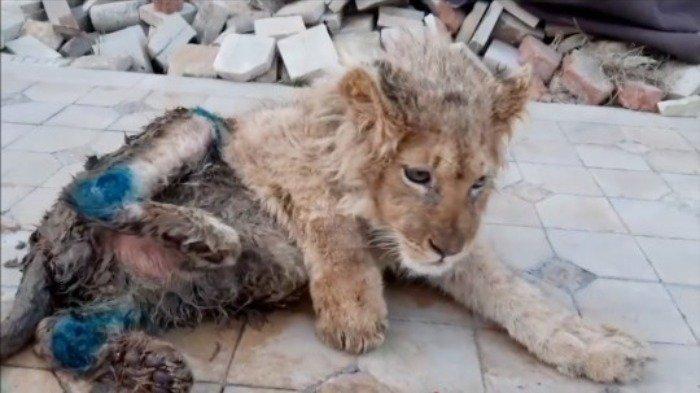 Kaki Anak Singa Ini Sengaja Dipatahkan Agar Mudah Diajak Foto Bareng Turis