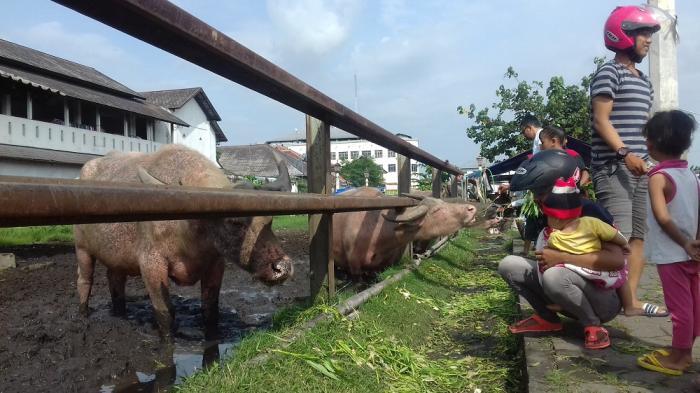 Masyarakat memberi makanan kepada kerbau Kyai Slamet di Alun-alun Kidul.