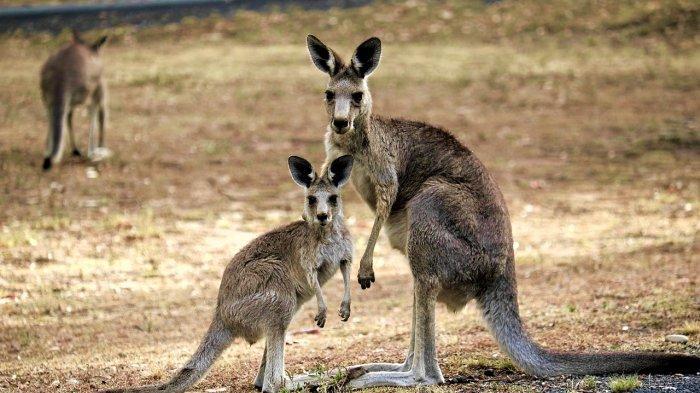 Kangguru, hewan endemik Australia