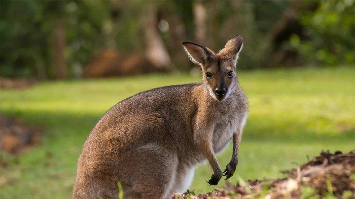 Bisa Lompat Sejauh 8 Meter, Ternyata Kanguru Tidak Selalu Bergerak dengan Cara Melompat