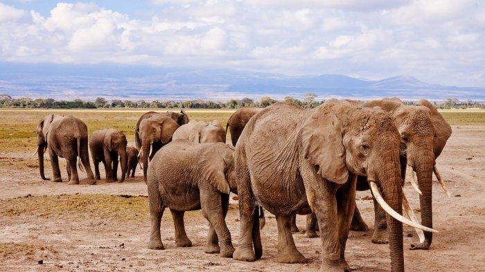 Belasan Gajah Kabur dari Cagar Alam, Rusak Lahan Pertanian dan Bikin Rugi Rp 15 M