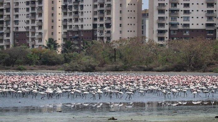 kawasan-flamingo-di-mumbai-india.jpg