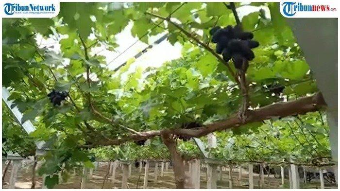 Kebun Anggur Duyu Bangkit