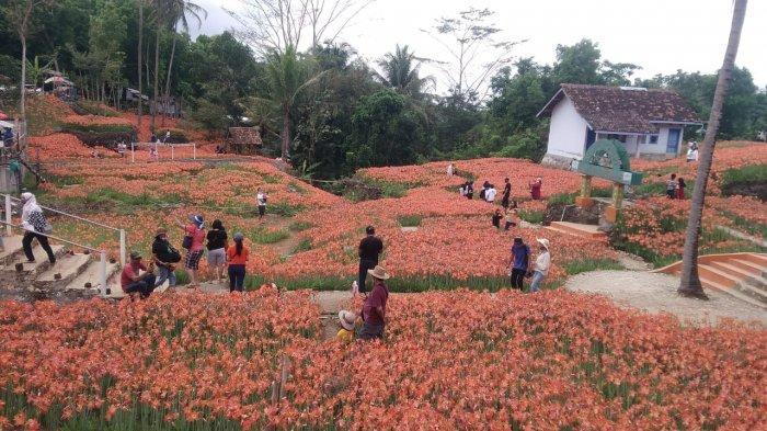 Kebun Bunga Amarilis di Patuk pada Sabtu (31/10/2020)