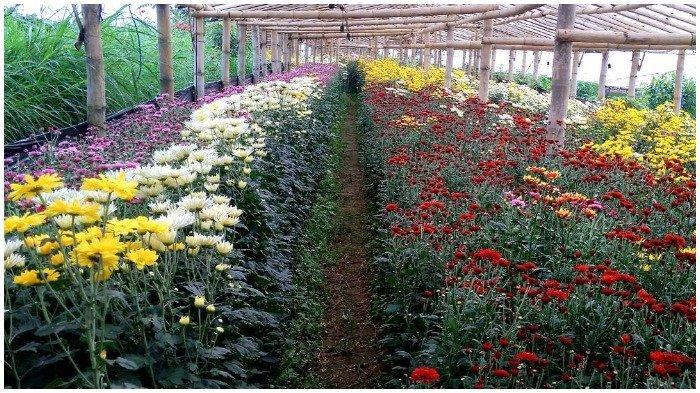 Kebun Bunga Krisan di Wisata Kampung Gemah Ripah Bandungan