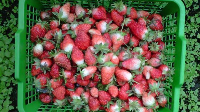 Buah segar bisa dipetik langsung dari kebun stroberi di daerah Jangkat Provinsi Jambi