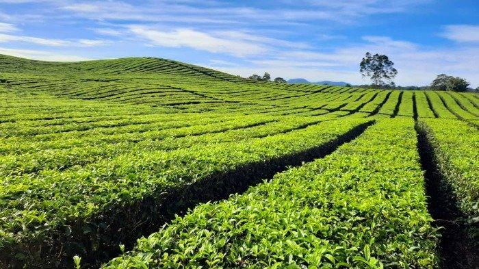 Tehnya Terkenal Sampai Eropa, Beginilah Pesona Kebun Teh Bah Butong di Sumatera Utara