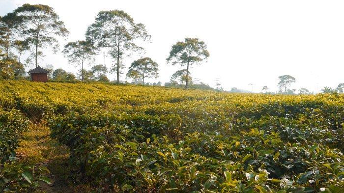 TRAVEL UPDATE: Harga Tiket Masuk Kebun Teh Kemuning, Wisata Alam di Lereng Gunung Lawu