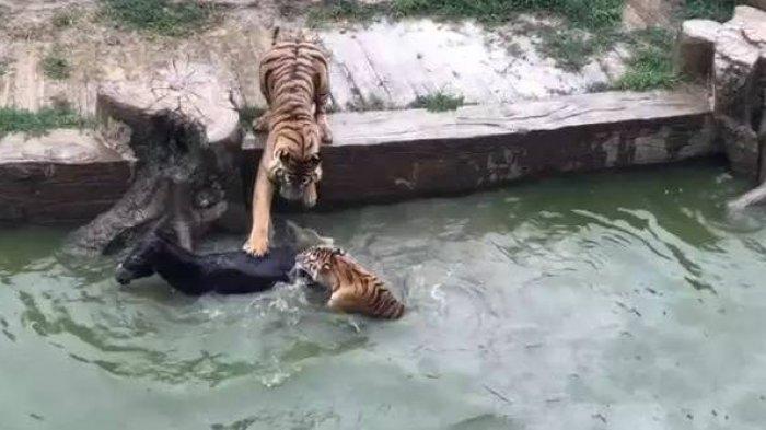 Tega Sekelompok Harimau Di Kebun Binatang Ini Diberi Makan Keledai