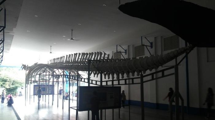 Kerangka Paus Biru di Museum Zoologi Bogor.