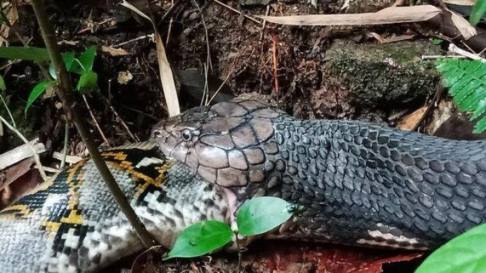 Fakta Unik Titanoba, Ular Terbesar di Dunia yang Ukurannya Kalahkan Anaconda