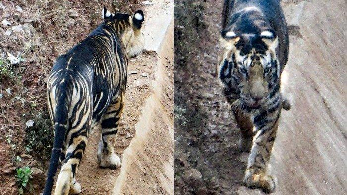 Kejadian Langka, Harimau Melanistik Berhasil Tertangkap Kamera di Daratan India