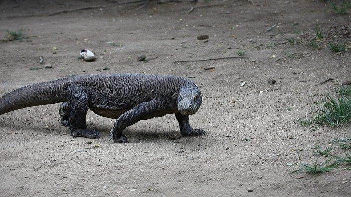 Selain Pulau Komodo dan Pulau Rinca, Desa Pota Bisa Menjadi Alternatif untuk Melihat Komodo