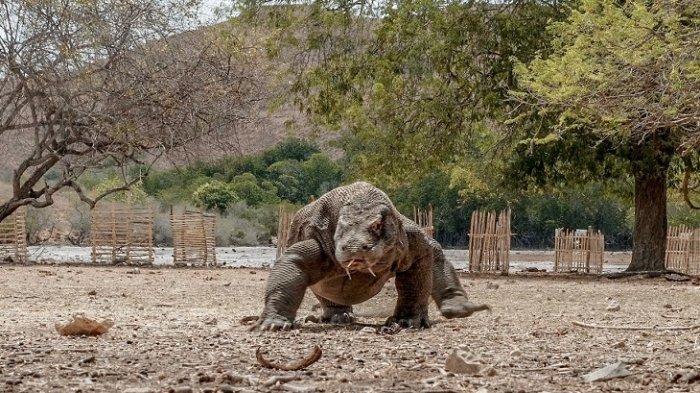 Heboh Pembangunan 'Jurassic Park' Taman Nasional Komodo, UNESCO Ungkap Kekhawatirannya
