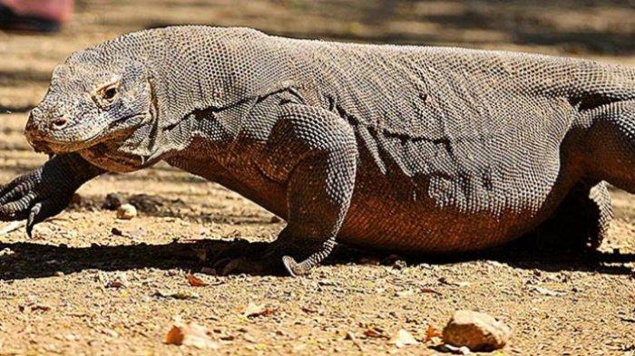 Komodo (Varanus komodoensis) hidup liar di Pulau Rinca, Jumat (10/6/2016). Populasi komodo di Pulau Rinca yang merupakan bagian dari Taman Nasional Komodo sekitar 2.800 ekor.