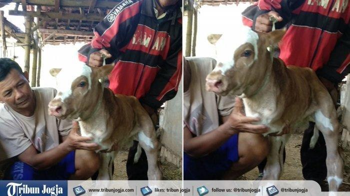 Anak Sapi Berkaki Dua yang Lahir di Gunungkidul Sekilas Mirip Kanguru