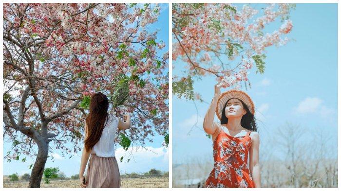Melihat Bunga Konji, Sakura ala Sumba yang Tak Kalah Memesona