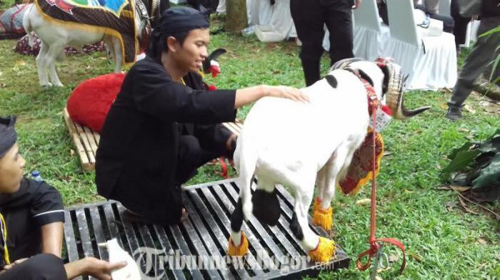 Kontes Domba Garut Ada Ada Saja Sebelum Ikut Lomba Binatang Ini