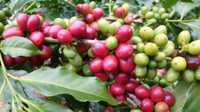 Promosikan Kopi Gayo Aceh, Bupati Bener Meriah Hadiri Istanbul Coffee Festival di Turki
