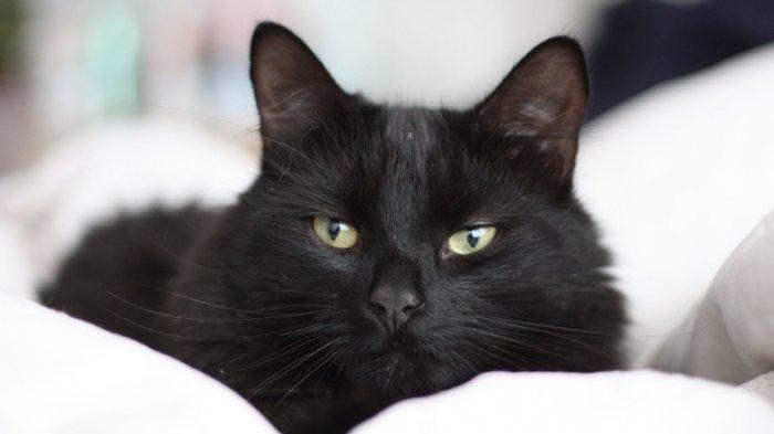 Mitos Kucing Hitam di Berbagai Negara, di Jepang Dianggap Pembawa Keberuntungan