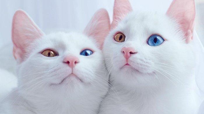Kumpulan Foto Iriss dan Abyss, Kucing Kembar Berbulu Putih dengan Mata Heterkromatik