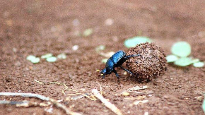 Dianggap Menjijikan, Kumbang Kotoran Ternyata Pernah Dipuja Bangsa Mesir Kuno, Mengapa?