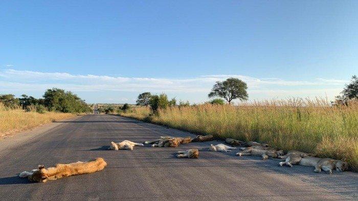 Kawanan Singa yang Menikmati Masa Lockdown di Afrika Selatan Ini Viral di Medsos