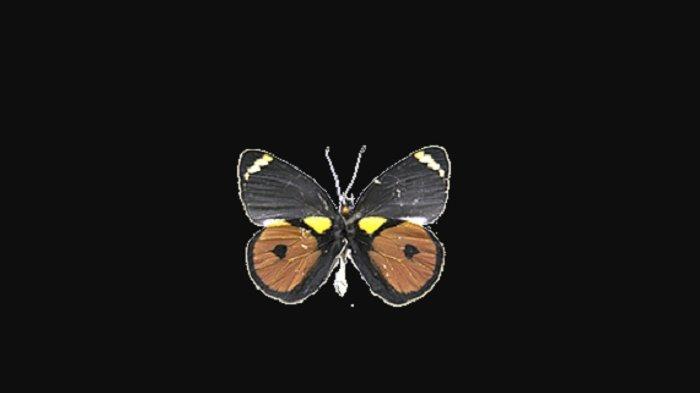Kupu-kupu Papua
