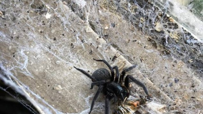 Tercyduk Makan Mangsa dengan Sadisnya, Foto Sepsies Laba-laba Besar Ini Gegerkan Netter! Apa ya Itu