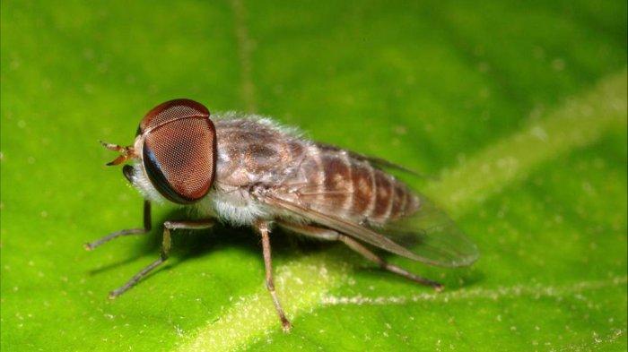 Pikat -  Lalat Unik yang Suka Menghisap Darah dan Ganja