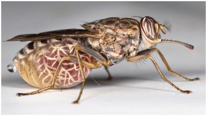 lalat-tsetse-dari-afrika.jpg