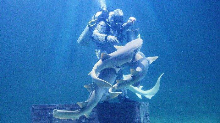 Live Feeding Shark di Seaworld Ancol, Kamis (25/6/2020).